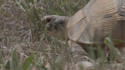 Spur-thighed Tortoises Crawls in Scrub Landscape