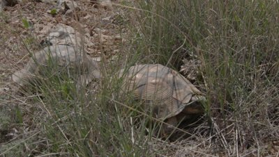 Spur-thighed Tortoise Courtship and Mating, Banging Shells Together