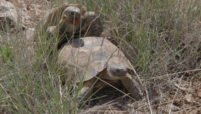 Spur-thighed Tortoise Courtship and Mating