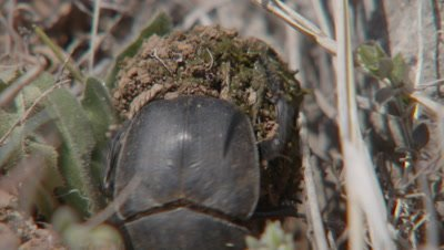 Dung Beetle Collecting Dung