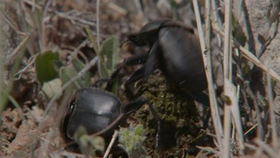 Two Dung Beetles Fight Over A Dung Ball