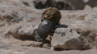 Dung Beetle Rolls Tortoise Dung along Ground