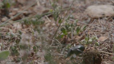 Dung Beetle Rolls Tortoise Dung along Ground