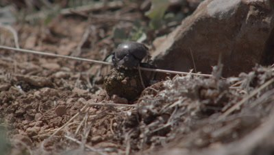 Dung Beetle Trying To Bury Dung Ball