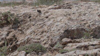 Dung Beetle Rolls Tortoise Dung along Ground, Rolls Down Hill
