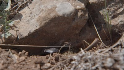Beetle Buries Dung Ball Under Rock
