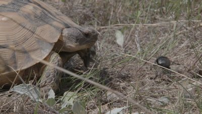 A Spur-Thighed Tortoise Watches Dung Beetle