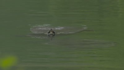 Two Nile Turtles Swimming In River