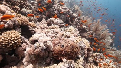 Red Sea Coral Reef Scenic,Possibly with Stonefish