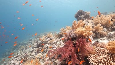 Red Sea Coral Reef Scenic,Soft Coral and Anthias