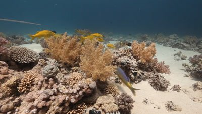 Follow Small Group of Goat Fish over Coral Reef