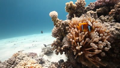 Sea Anemone with Clownfish on Coral Bommie