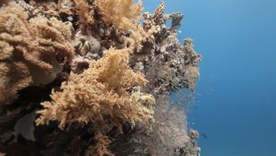 Coral Bommie with Schools of Sweepers,Glass Fish
