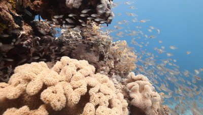 Coral Bommie with School of Sweepers,Glass Fish