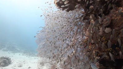 Coral Bommie with School of Sweepers,Glass Fish Gathered on Sea Fan