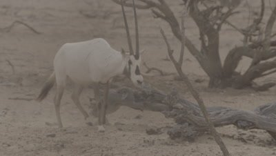 Oryx In Heat Haze,One Runs and kicks up Dust