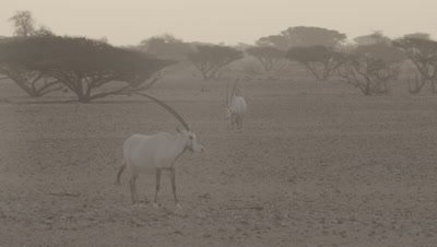 Oryx In Heat Haze,Origin of Unicorn Myth