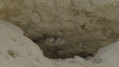Cobra peeks out from burrow