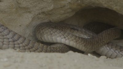 Egyptian Cobra leaves burrow in rock