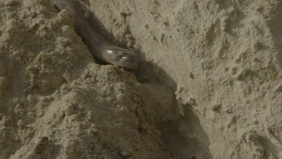 Cobra enters Burrow in rock