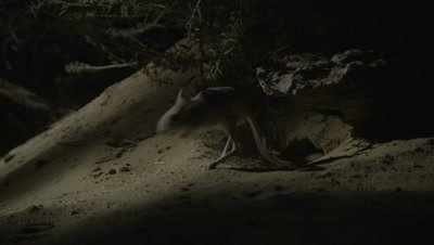 Jerboa coming out from Burrow in Desert