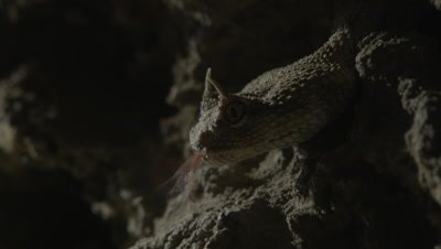 Horned Viper Flicking out his tongue in Desert