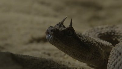 Close up of Horned Viper Opening Mouth