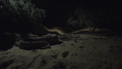 Horned Viper Crawls In Desert