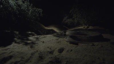 Horned Viper Crawling In Desert