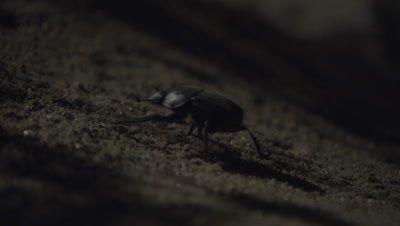 Black Ground Beetle Crawls in desert at night