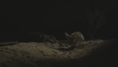 Fennec Fox Forages For Food In Desert