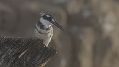 Pied Kingfisher Perched,flies away