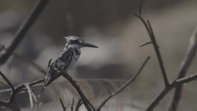 Pied Kingfisher Perched In Tree
