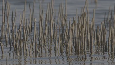 Mangrove With Aerial Roots,Pneumatophores,Stick out of Water