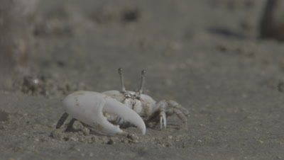 Crab,Possibly Ghost Crab,In Mangrove Mud,Waves Large Claw