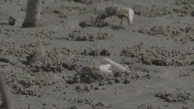 Crabs,Possibly Ghost Crabs,Fight In Mangrove Mud