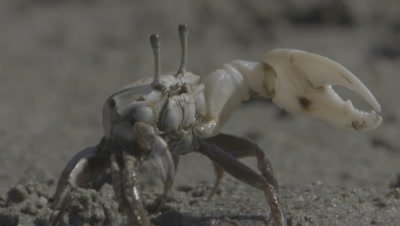 Crab,Possibly Ghost Crab,Displays,Waves Claw,In Mangrove Mud