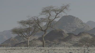 Wide Open Valley With Acacia Tree Cluster,Mountains Behind