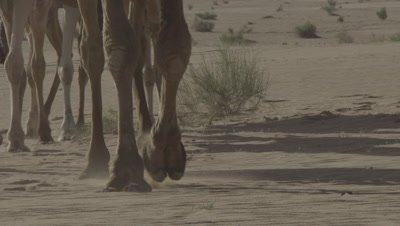 Bedouin Rides and Leads Camels in Jordan Desert,Close up of feet