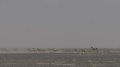 Onager Herd Walking And Running In Dessert