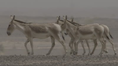 Onagers Walking In Dessert