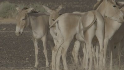 Onagers Standing,Swishing Tails In Dessert