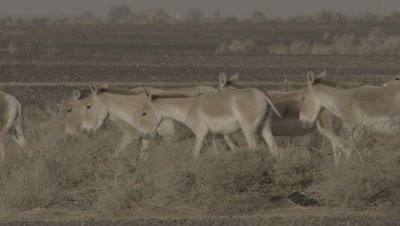 Onagers Walking In A Dessert