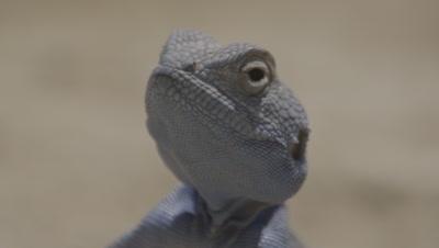Sinai Agama Lizard Portrait