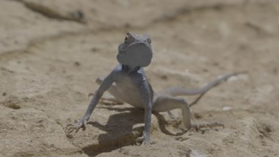 Agama Rests in Desert,Runs Away