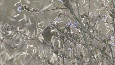 Sunbird rests on Wildflower Bush,flies away