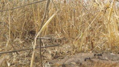 Harvester Ants Moving Grains