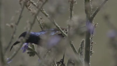 Male Sunbird Feeding On Nectar And Pollinating Flower