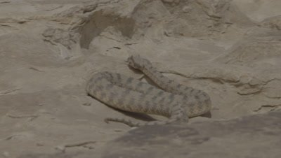 Persian Horned Viper Crawls Over Rocks In Desert