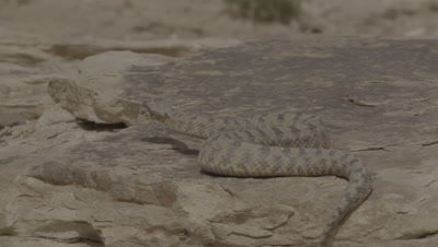 Persian Horned Viper Crawls In Desert